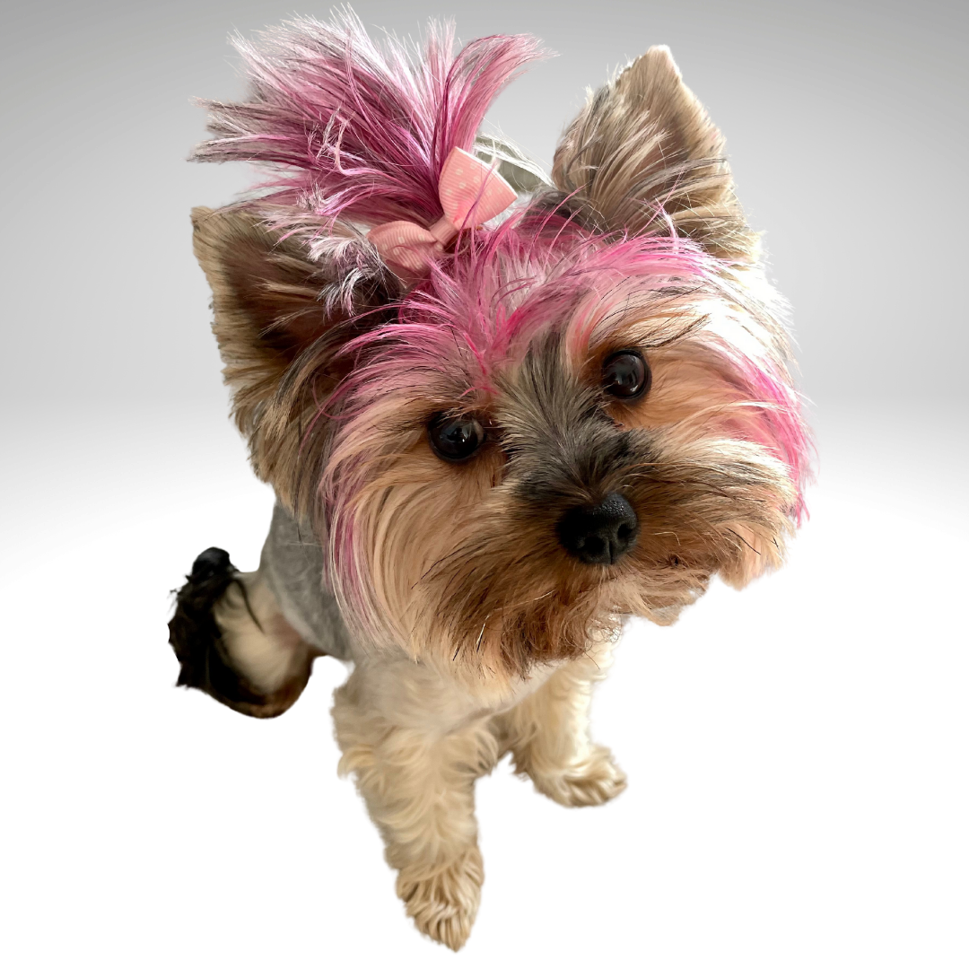 yorkshire terrier puppy wearing a bow for social media marketing
